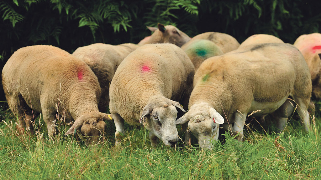 RamCompare preliminary results announced at Sheep Breeders Round Table