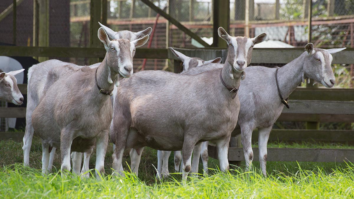 Smallholding allows goat show success