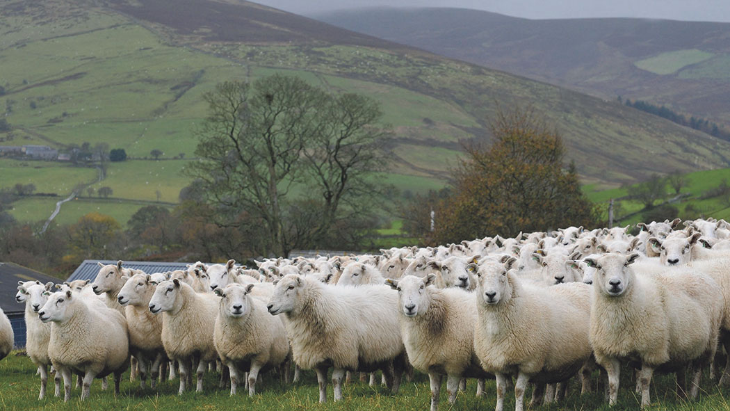 Welsh farming groups call for scab eradication programme