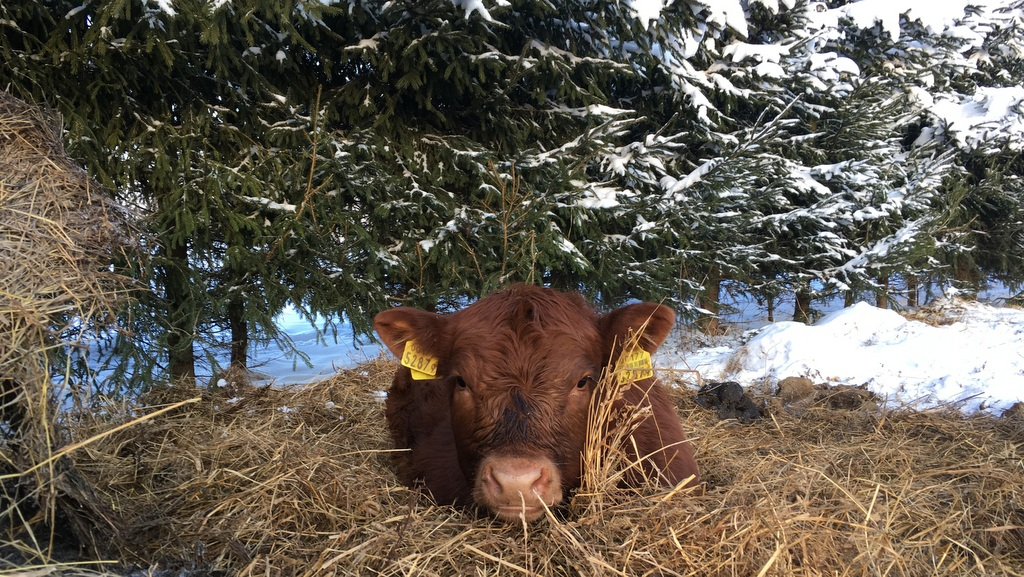 Ag in my Land: Life on an Estonian beef farm