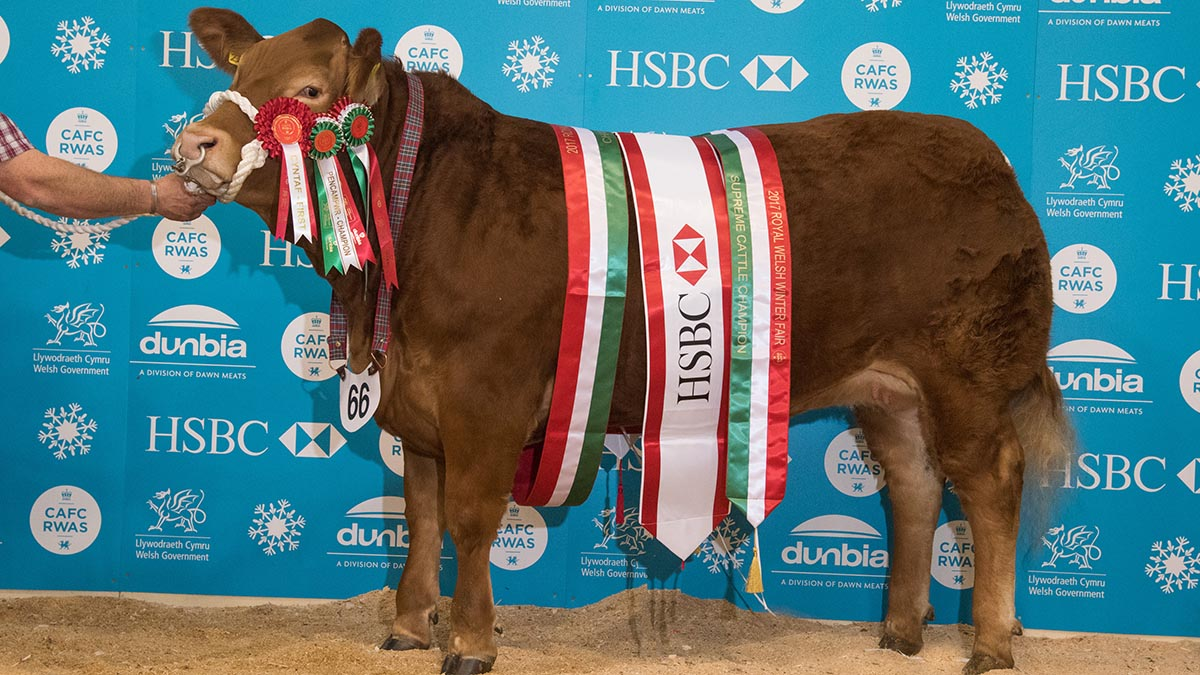 Overall cattle champion - a heifer from Phil Price and Julie Rogers, Glasbury-on-Wye.