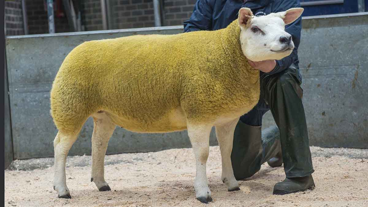Strathbogie gimmer hits 16,000gns at Christmas Stars sale