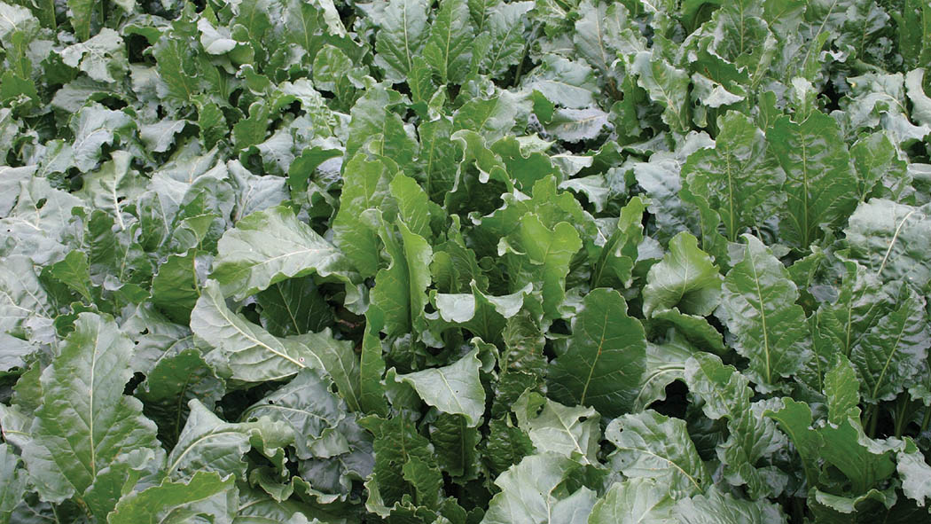 Big potential to help boost fodder beet yields