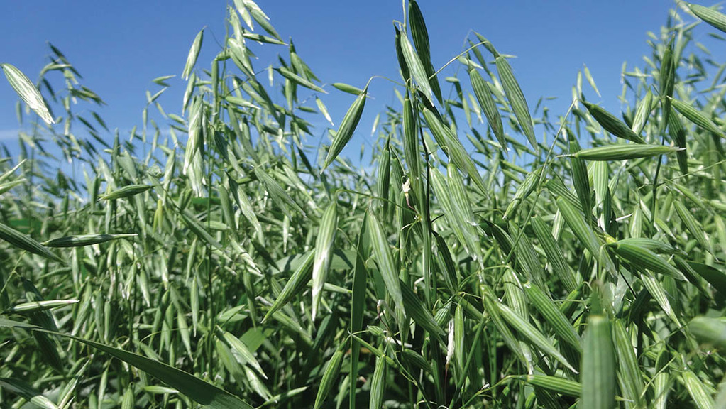 Naked oats can deliver healthy margins