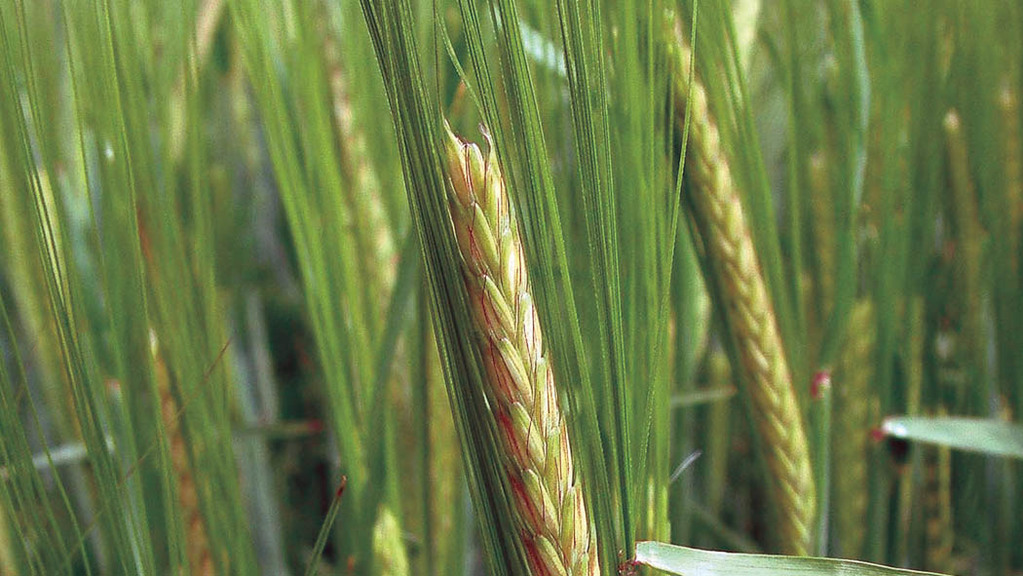 UK spring barley crop larger but quality concerns could tighten markets