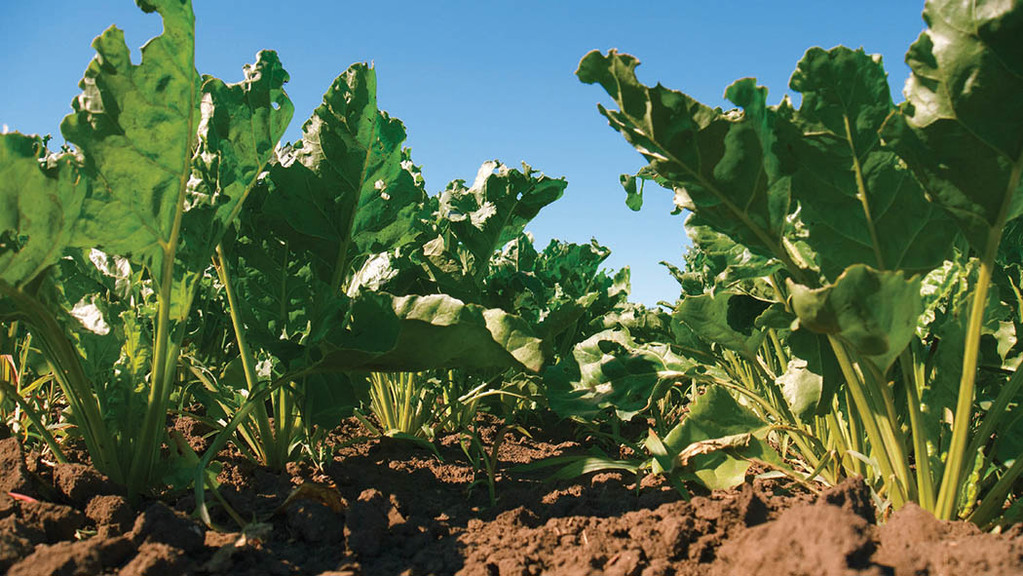 Sugar beet plant populations 'largely' on target