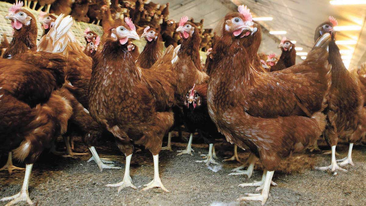 Global research race for poultry red mite vaccine