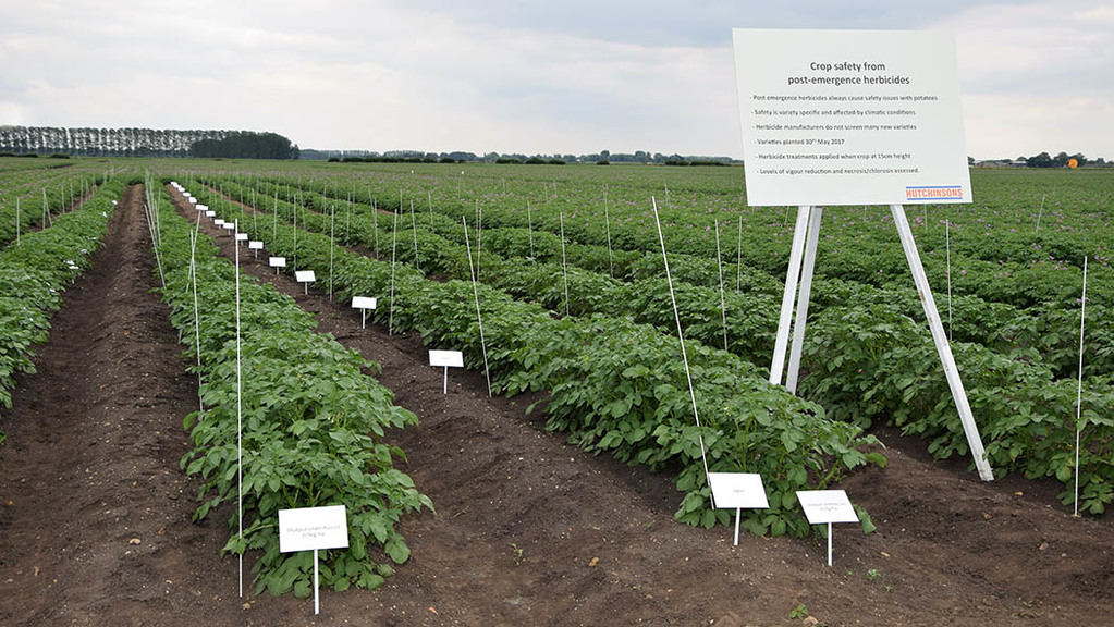 Potato trials reveal differences for Fenland agronomy