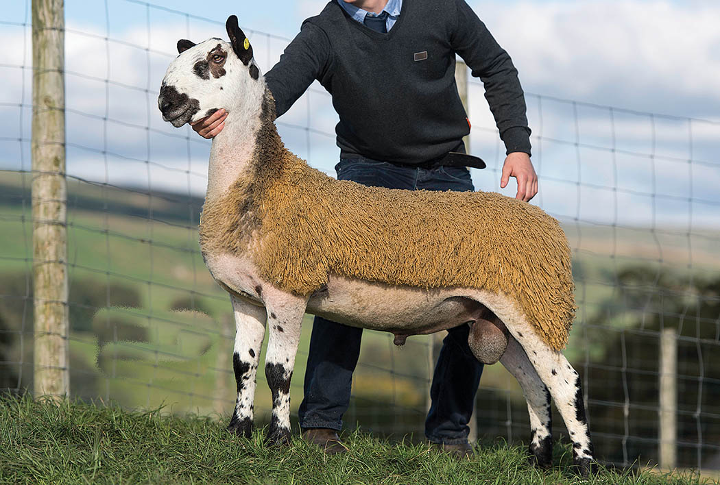 Midlock adds Bluefaced ram lamb record to impressive tally (Hawes, Hawes Farmers Mart)