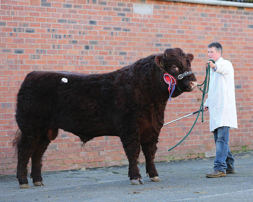 Legendary Salers bull sells for 15,000gns (Castle Douglas, Wallets Mart).