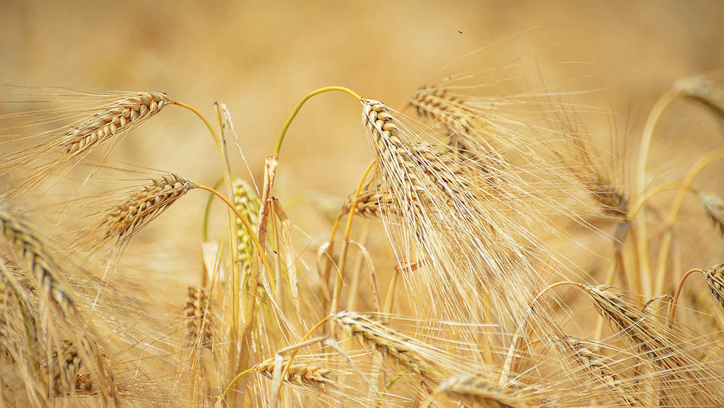 Farmers seeing good returns on malting barley