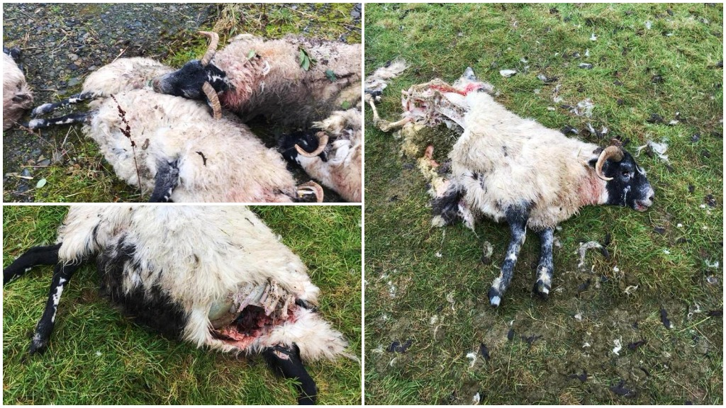'One was decapitated' - sheep ripped apart by loose dogs in vicious attack