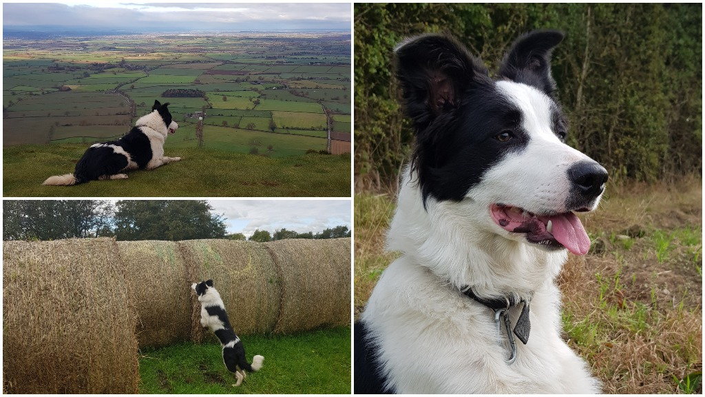 Meet #BobTheDog - Twitter's most-loved working collie