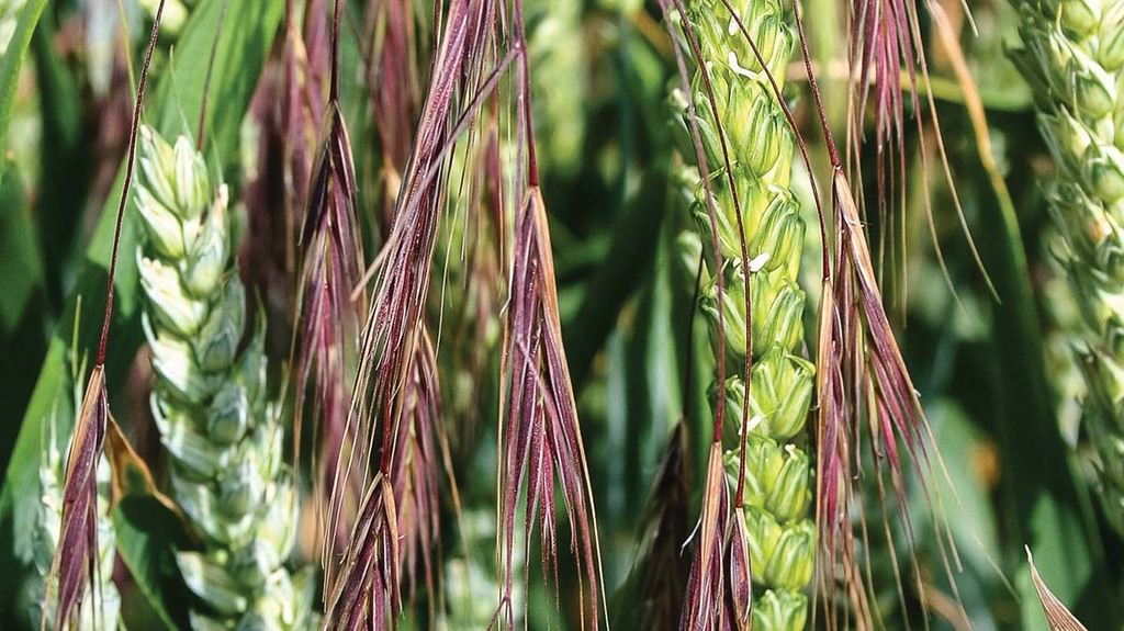 'Evolving' glyphosate resistance reported in sterile brome