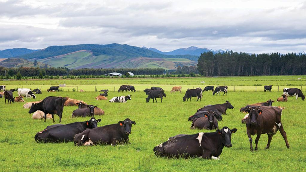Dry weather limits New Zealand milk production