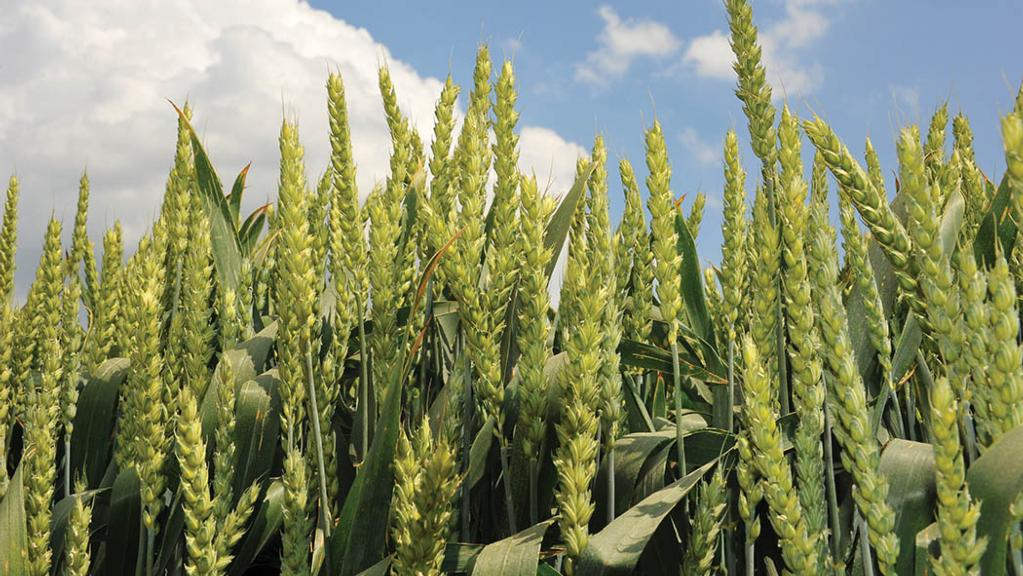 New quality wheat gains industry backing