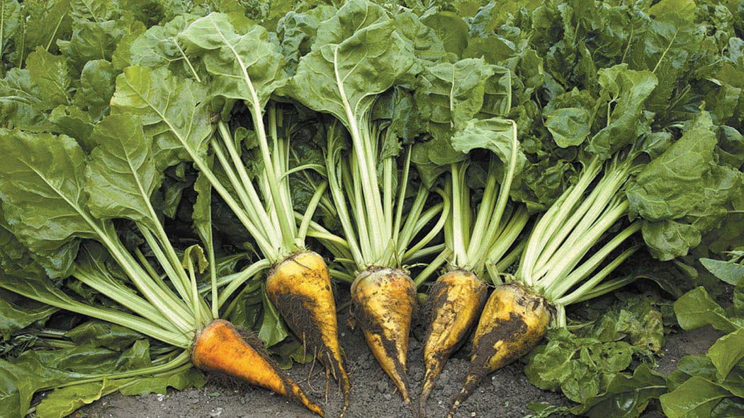 Strip-grazed fodder beet could reduce beef feed costs
