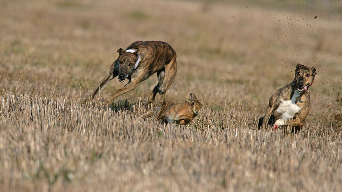 How one rural police team is battling violent hare coursing gangs