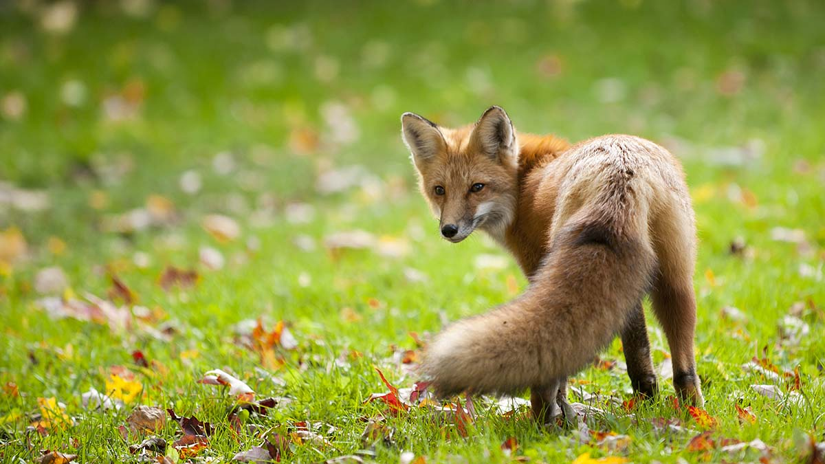 Gove to 'reflect' on introducing support for predator control to boost biodiversity