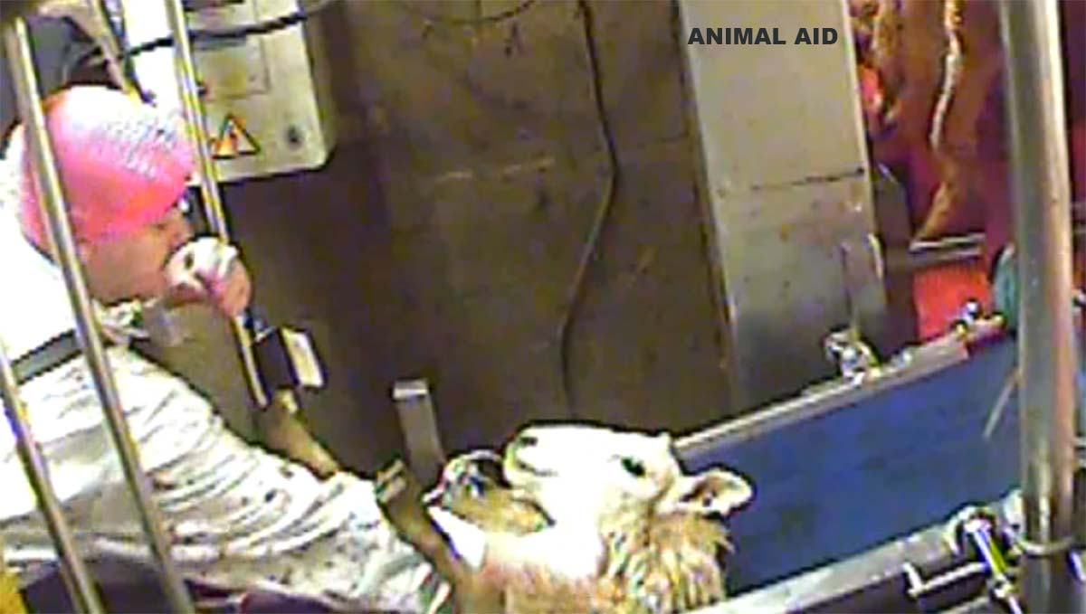 Slaughtermen plead guilty to causing animal suffering at halal abattoir