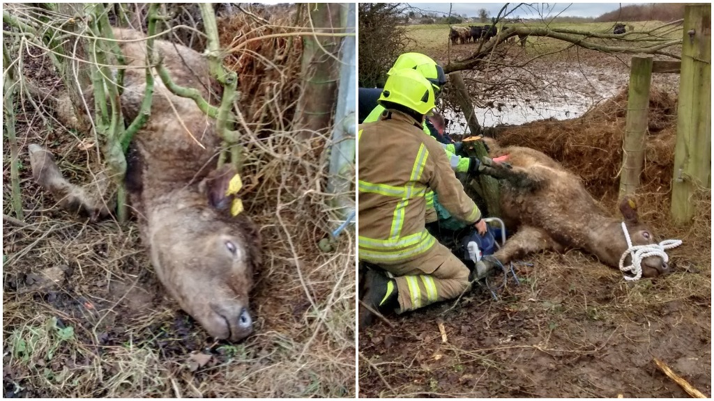 Young heifer rescued after getting stuck upside down between trees and fence