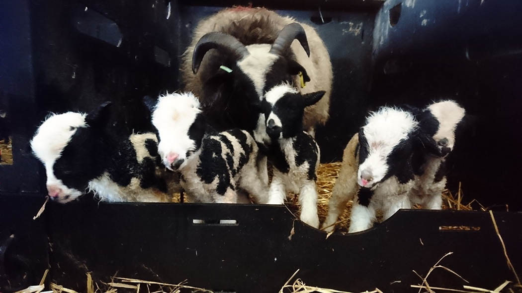 'We've never had a five!' - rare quintuplet lambs born on UK sheep farm