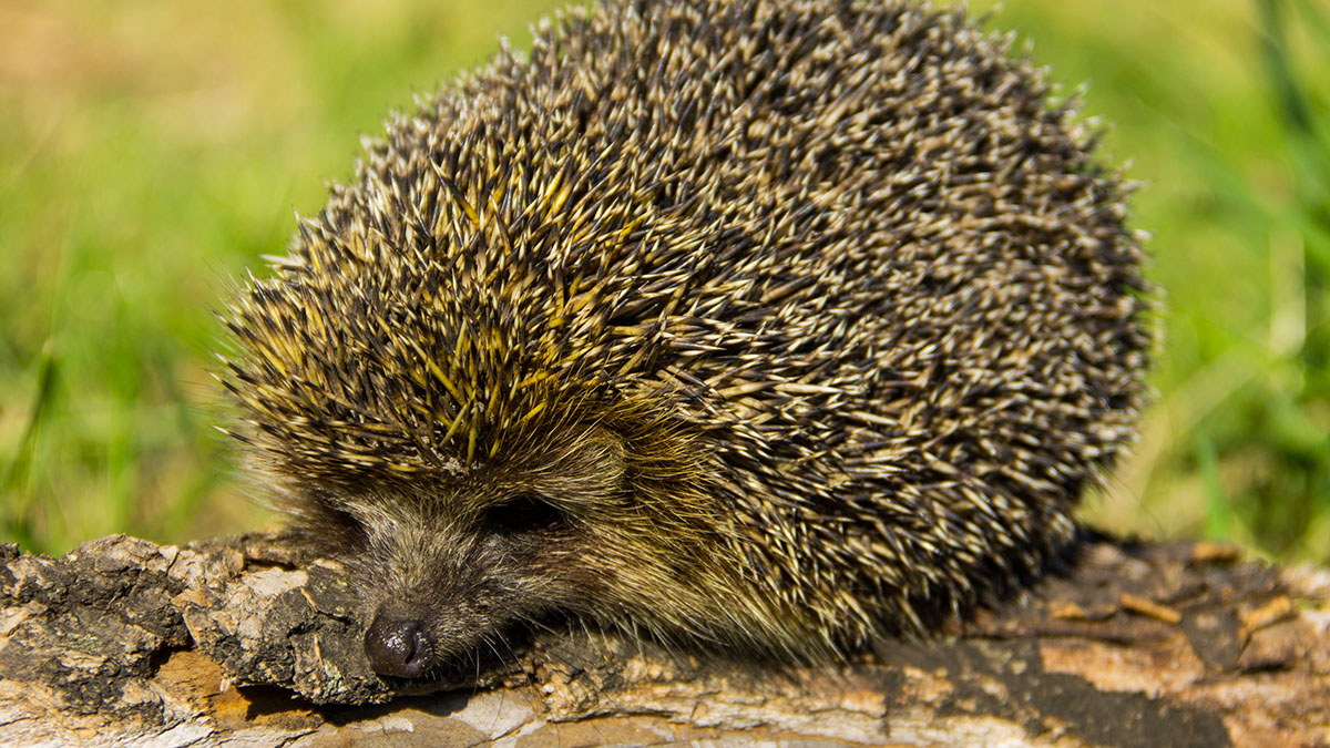 Experts slammed for 'dismissing' badger predation as reason for hedgehog population halving