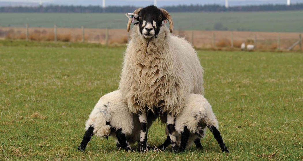 Farmers urged to avoid blanket use of antibiotics during lambing