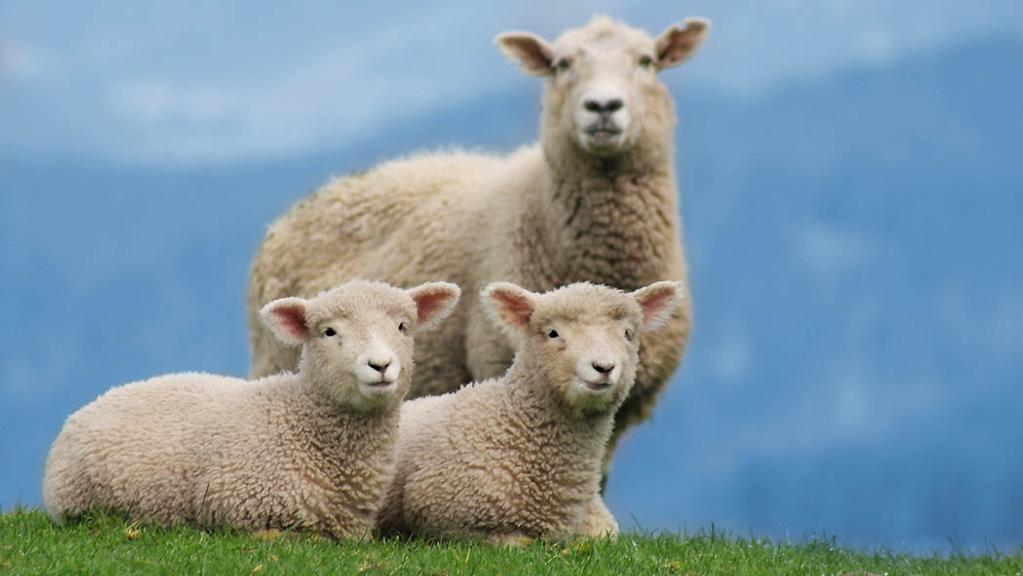 Selection developments for increased lamb survival rates
