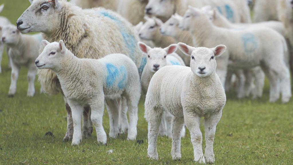 Mart optimism as UK lamb trade remains on firm footing