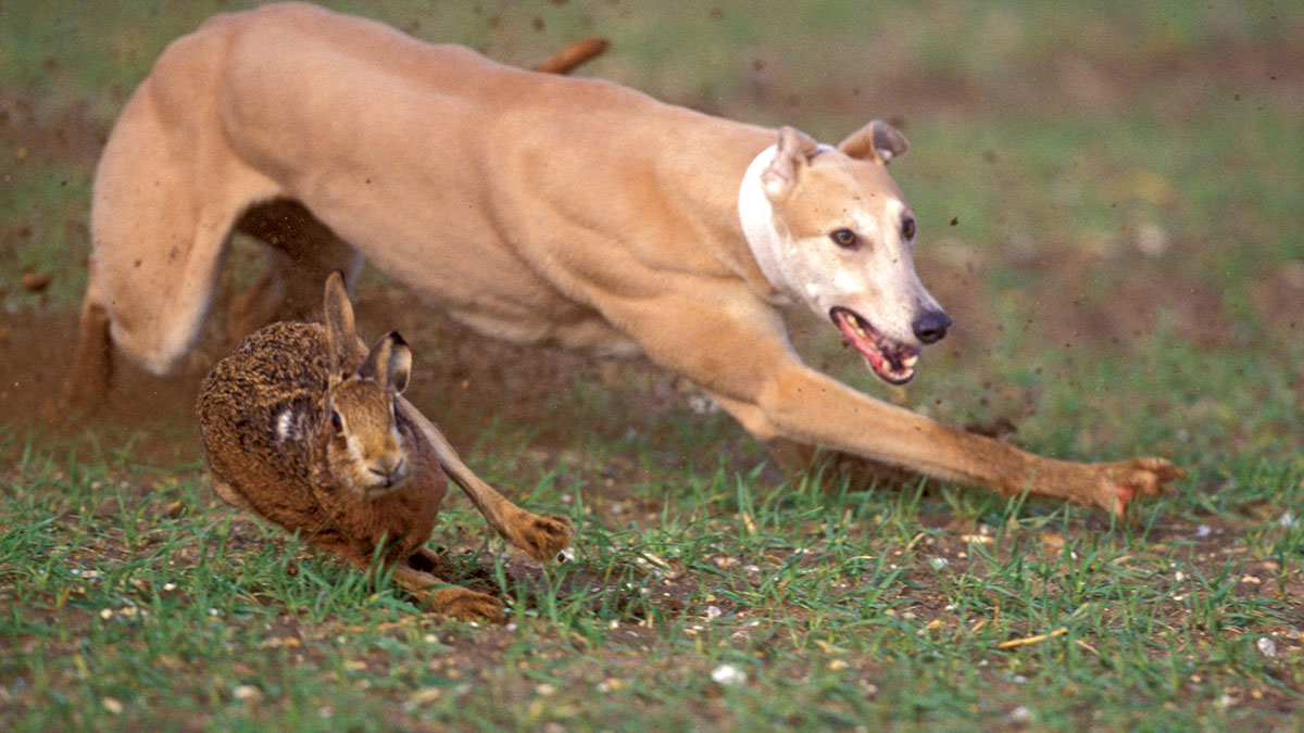 Government urged to take action on 'growing' problem of illegal hare coursing