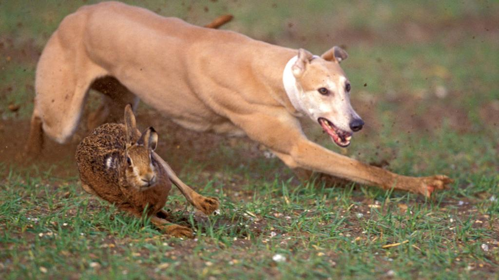 BANNED: New database helps catch four 'cruel' hare coursers