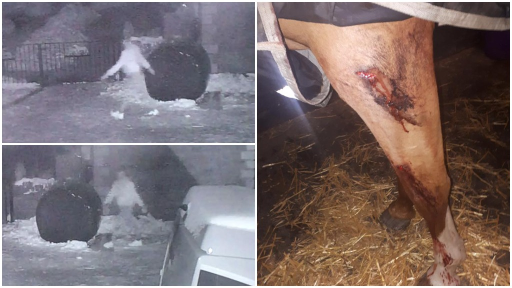 CCTV: Horses and buffalo injured on icy roads after farm raider unbolts gates