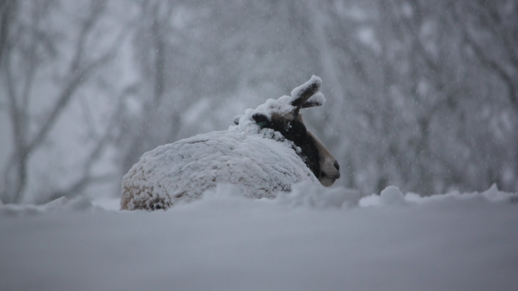 VIDEO: Farmers continue rescue efforts after livestock trapped under snow
