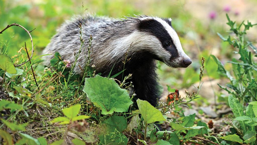 Police and Crime Commissioner reveals anti-badger cull stance