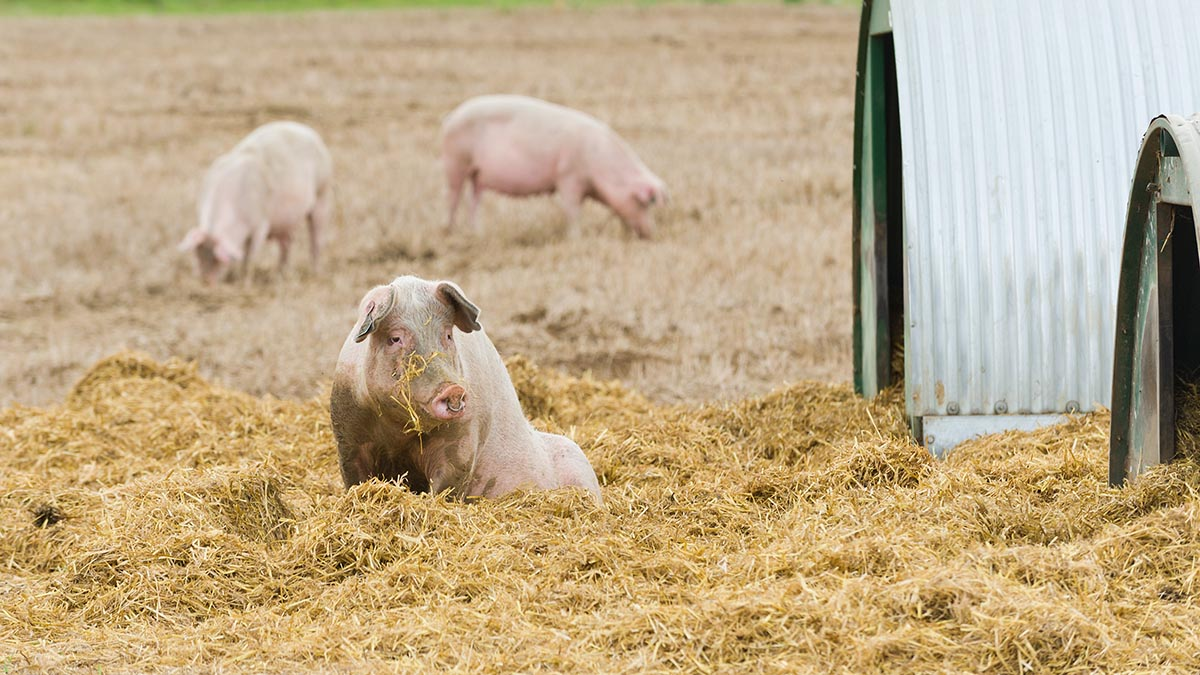 Co-op commits to 100 per cent outdoor bred pork on own-brand meat