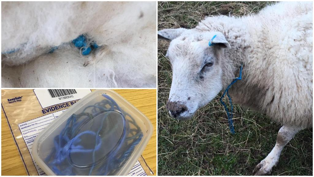 Police appeal: Anger as blue rope tied tightly around pregnant ewe's neck