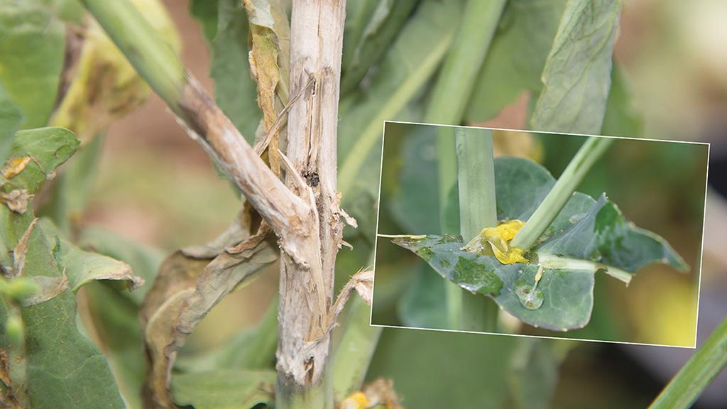 Falling petals stick to wet surfaces and leaf axials as the precursor for sclerotinia infection