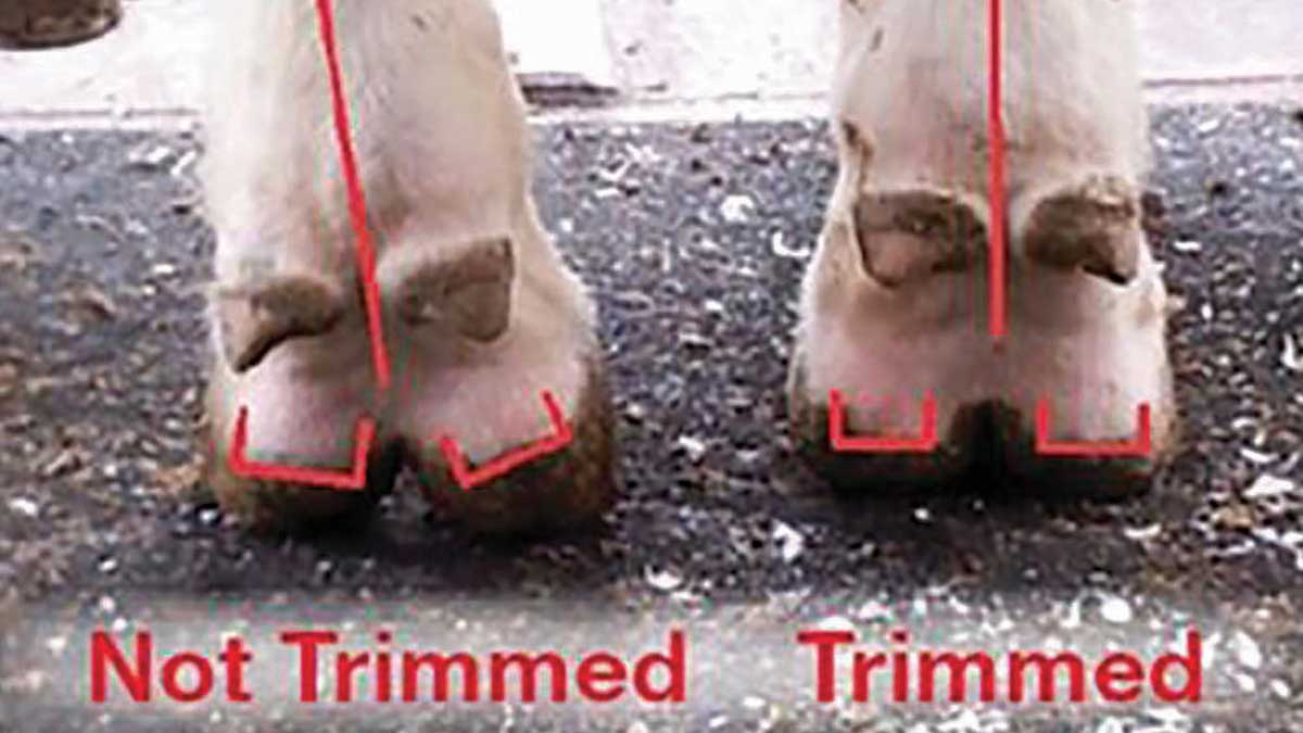 Opportunities and challenges ahead for foot trimmers