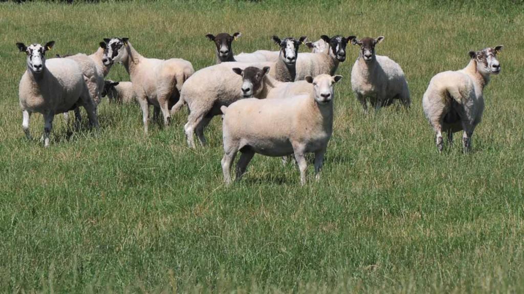 Warm weather brings nematodirus risk for sheep farmers