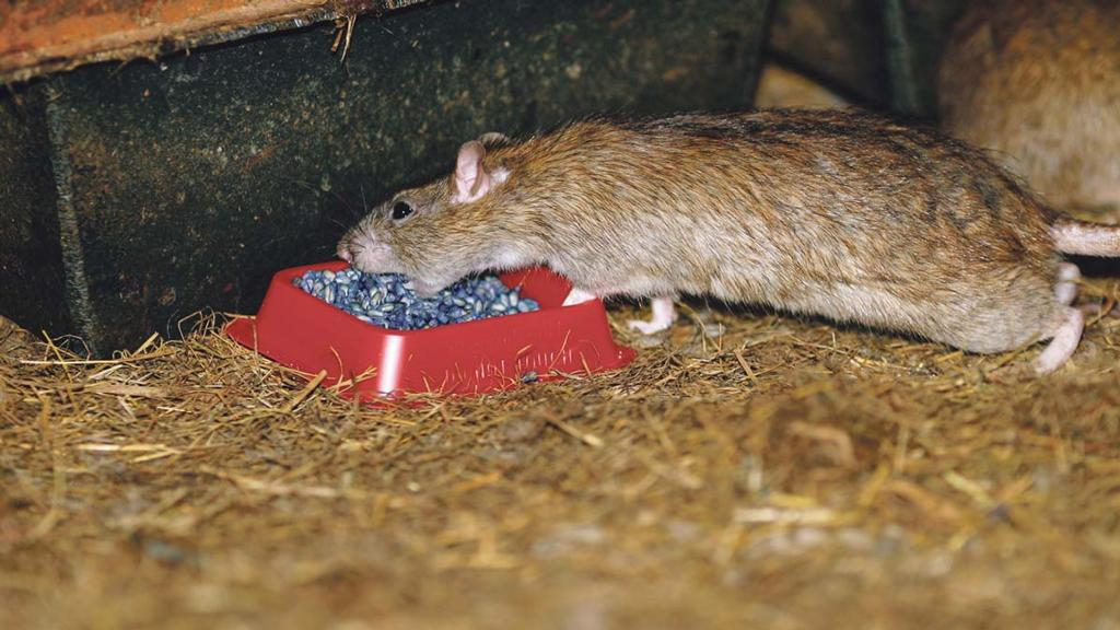 Will the hot summer lead to increased rodents on farms this winter?