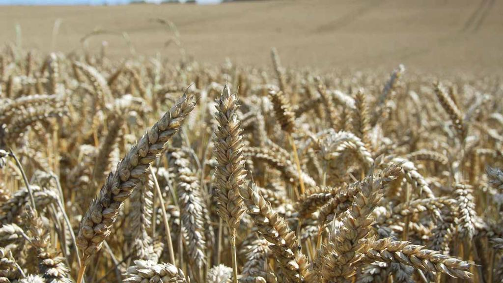 Buoyant wheat market as drought effect goes global