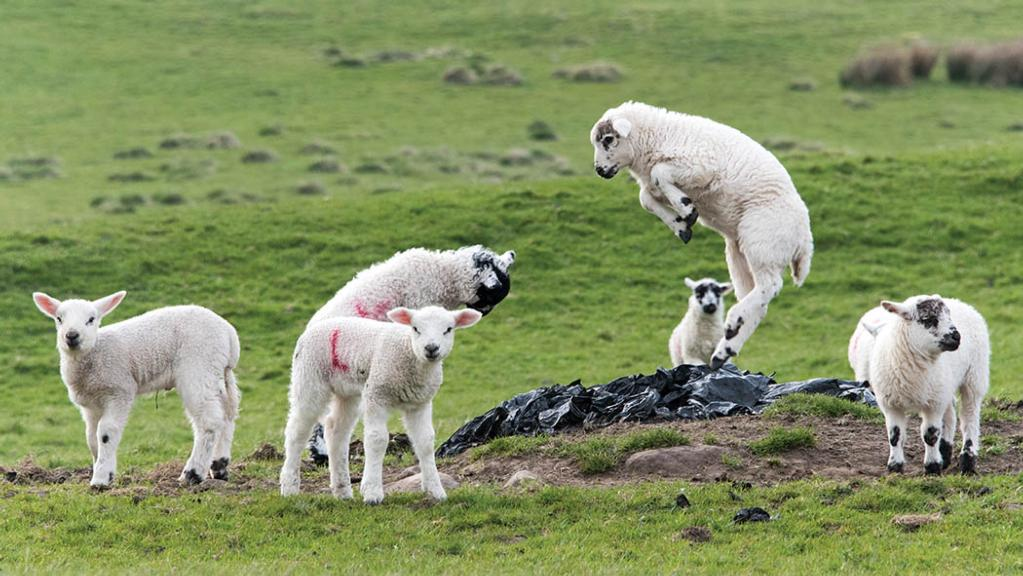 New Zealand and Australian lamb prices reach record highs