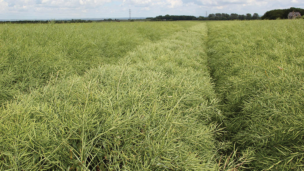 Patience is a virtue with oilseed rape desiccation
