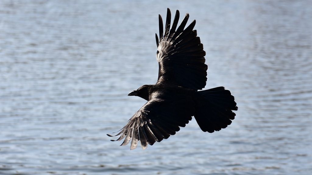 'Absolute betrayal' - row breaks out over licence to cull up to 300 ravens