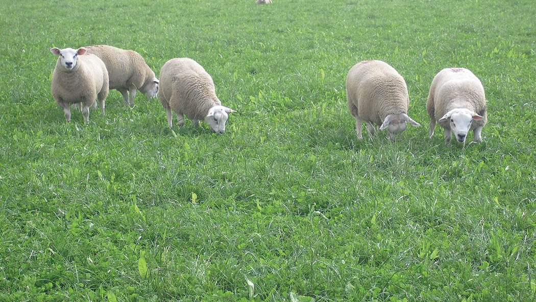 Multispecies mixtures add 'punch' to pasture