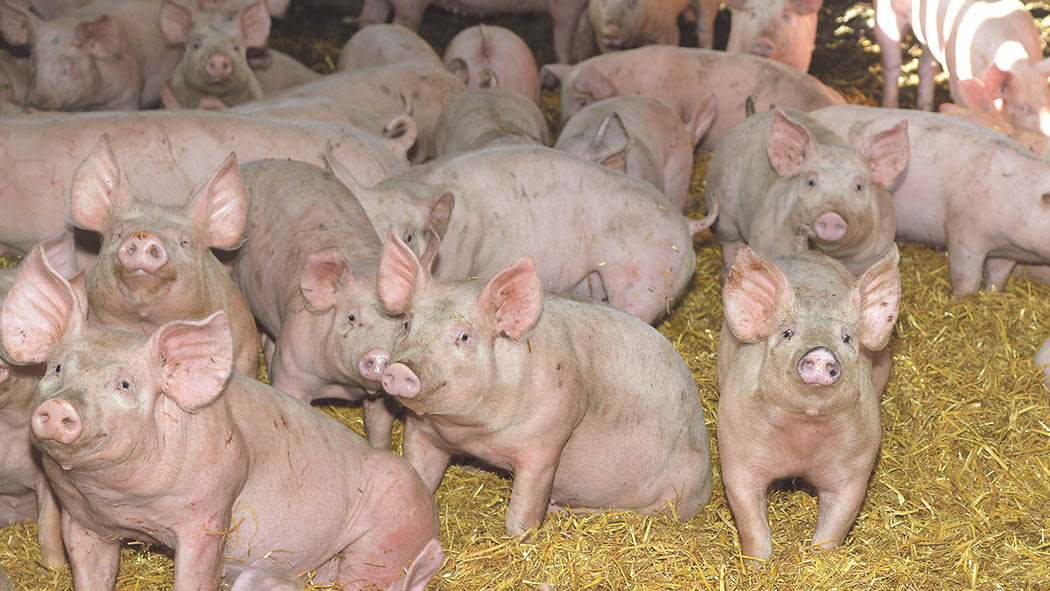 Scotland's only pig abattoir to close today due to CO2 shortage