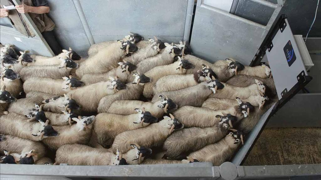 Sheep prices highest ever recorded and cattle prices strongest since 2013