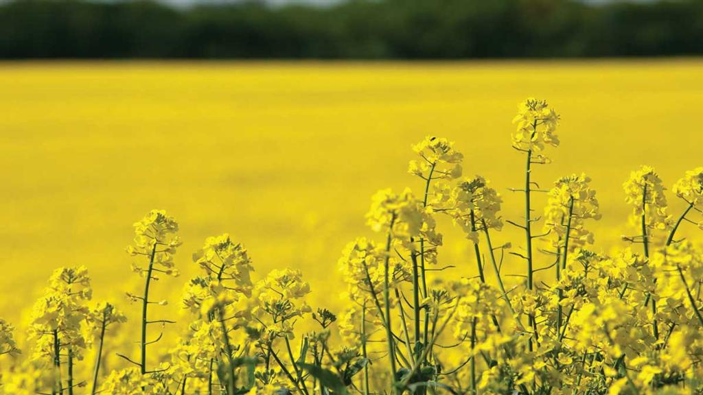 Mitigating OSR growing risk