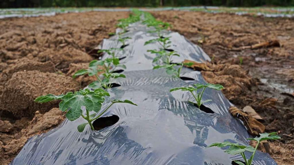 Project to investigate plastic mulch alternatives